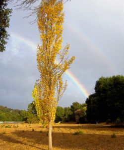 Gingko Tree Rainbow